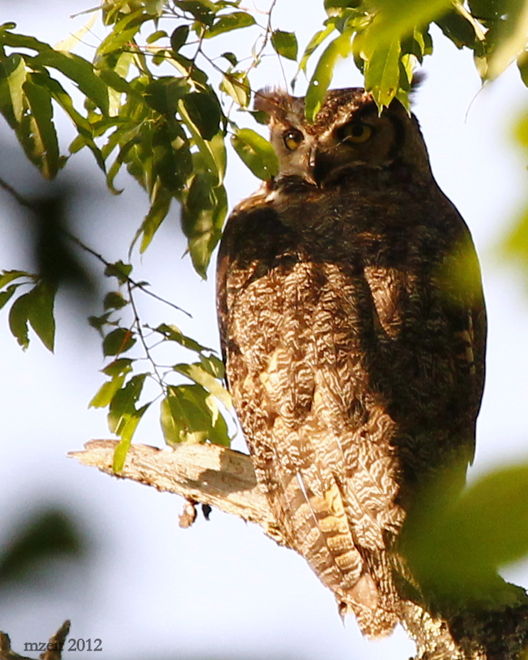 Great Horned Owl at Linear Park, Sullivan County.