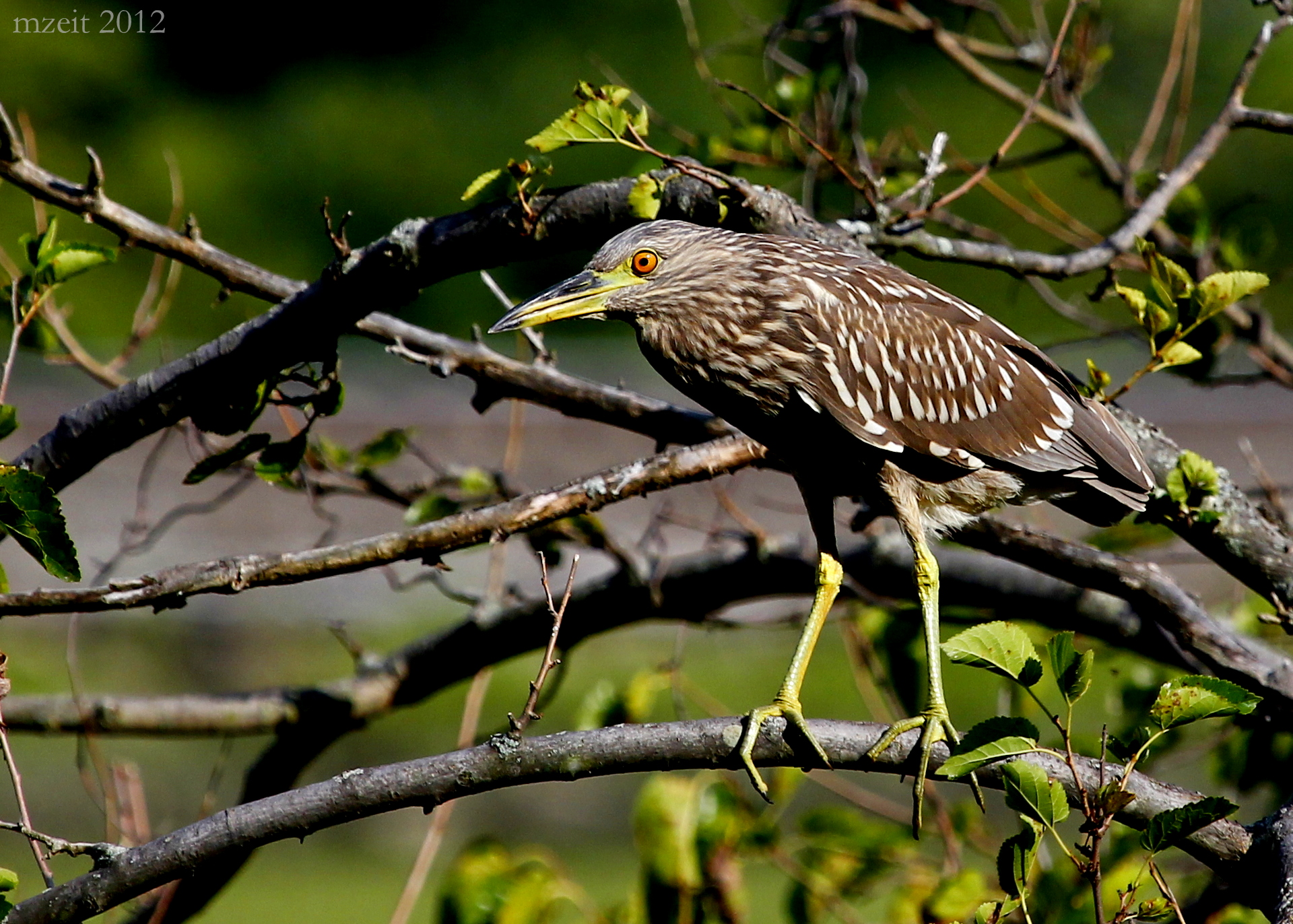 A young Black-Crowned Night-heron out during the day at Dennings Point in Beacon NY.