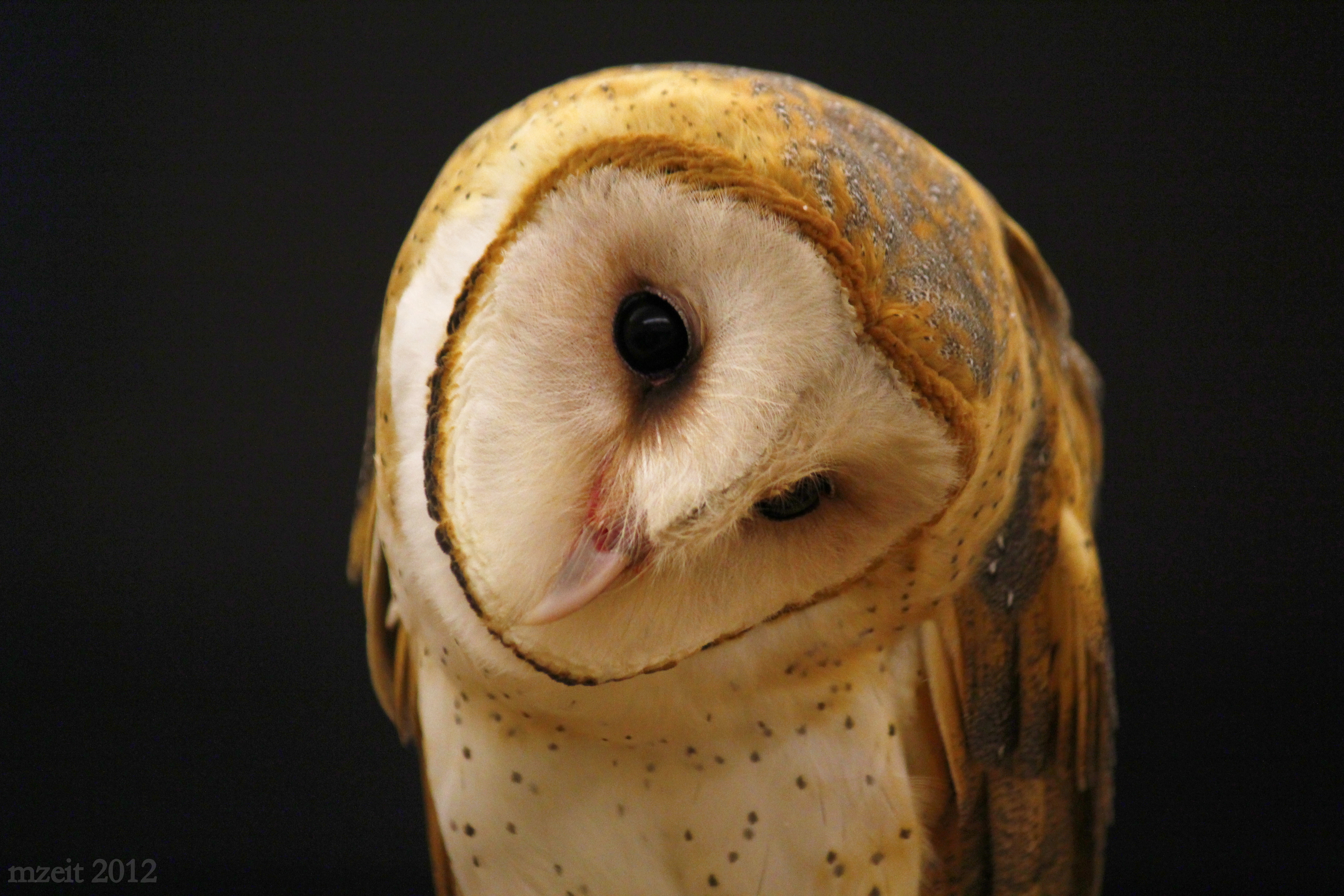 Captive Barn Owl at the Vermont Institute of Natural Sciences, 12-28-12.
