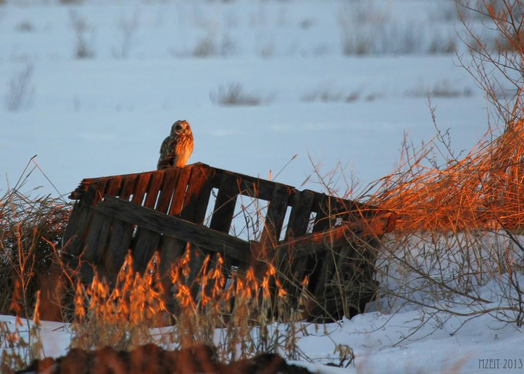 Short-eared Owl just before sunset, 1-7-13.