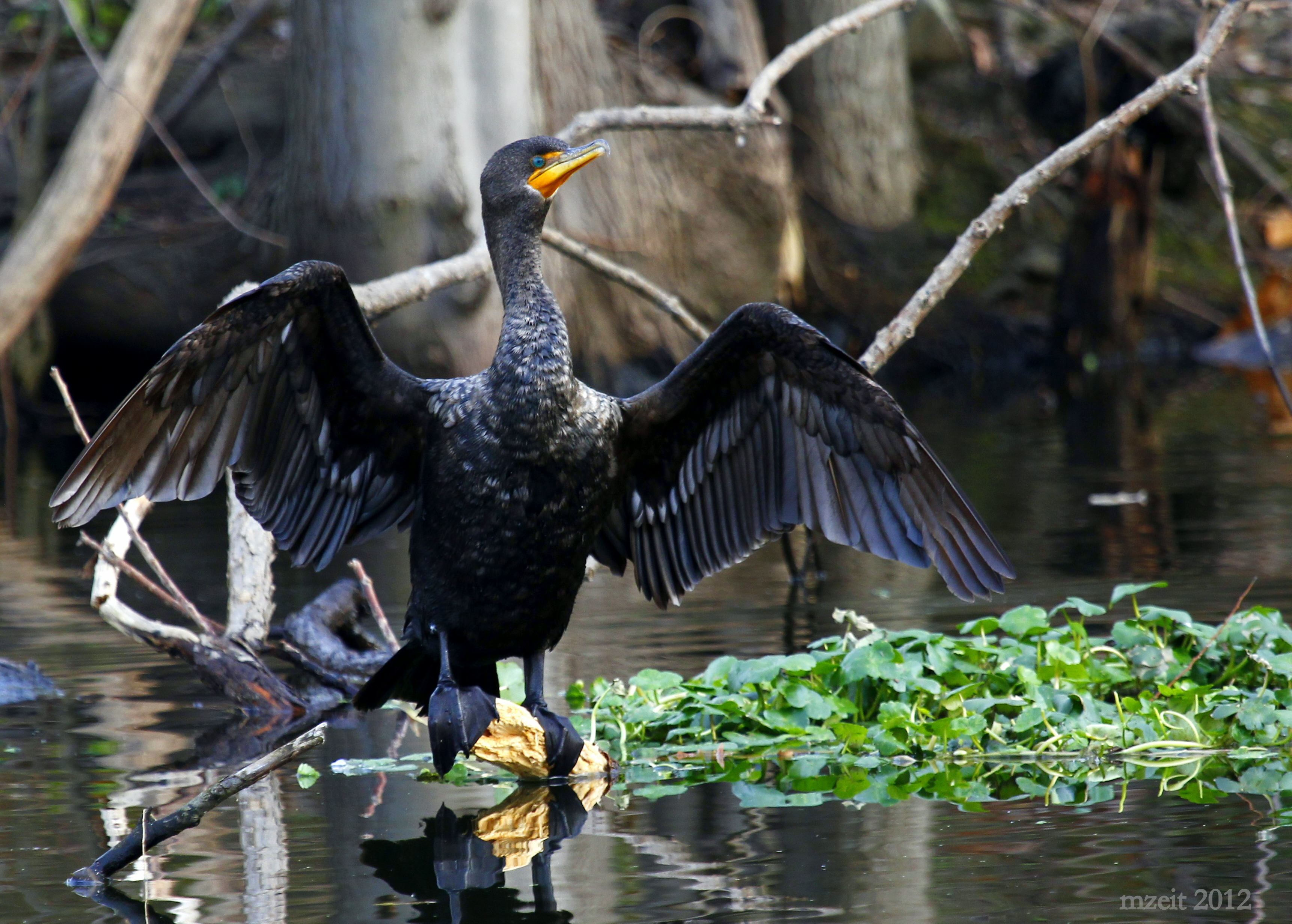 This Double-crested Cormorant was extremely accommodating. Celery Farm 11-18-12.
