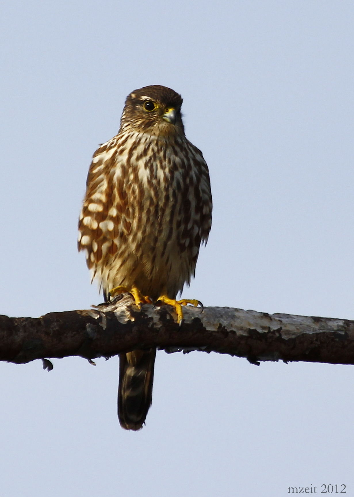 It was so exciting seeing this Merlin - what a beautiful bird!
