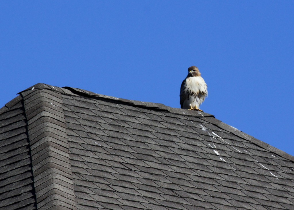 A Red-tailed Hawk perched on the roof of a McMansion in Warwick, NY.