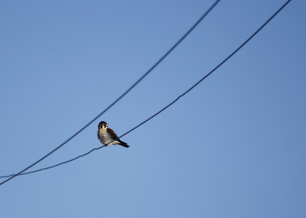 I also got some photos of this bird in flight, but they were all silhouettes. Male American Kestrel at Missionland Rd.