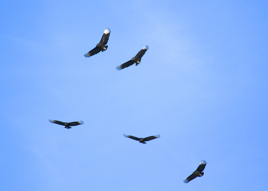 I really enjoyed seeing these Black Vultures at Missionland Rd.