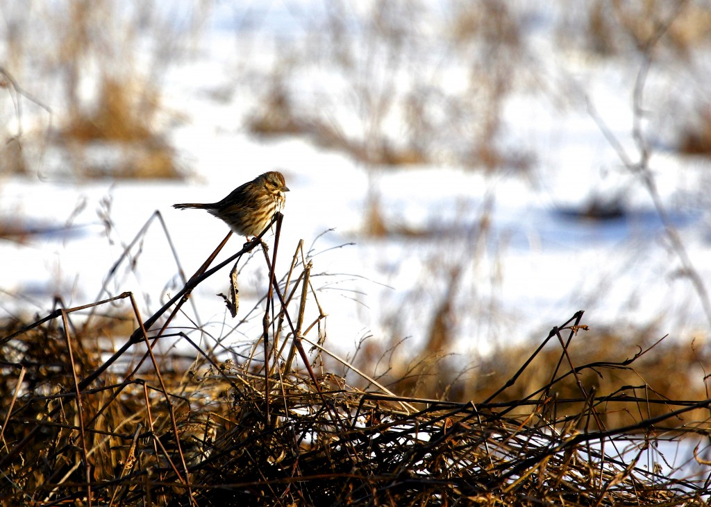 These guys are never too shy. Song Sparrow at Wallkill River NWR 1-27-13.