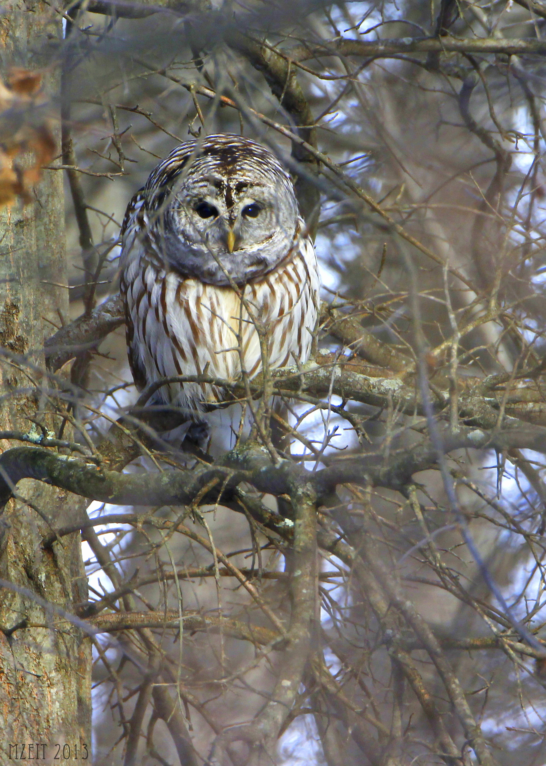 Barred Owl at the Great Swamp NWR in Basking Ridge NJ, 1-4-13.