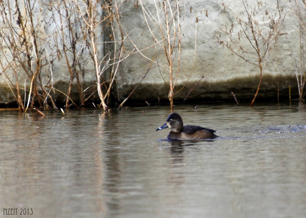 Ring-necked Duck at Browns Point Park 1-19-13.