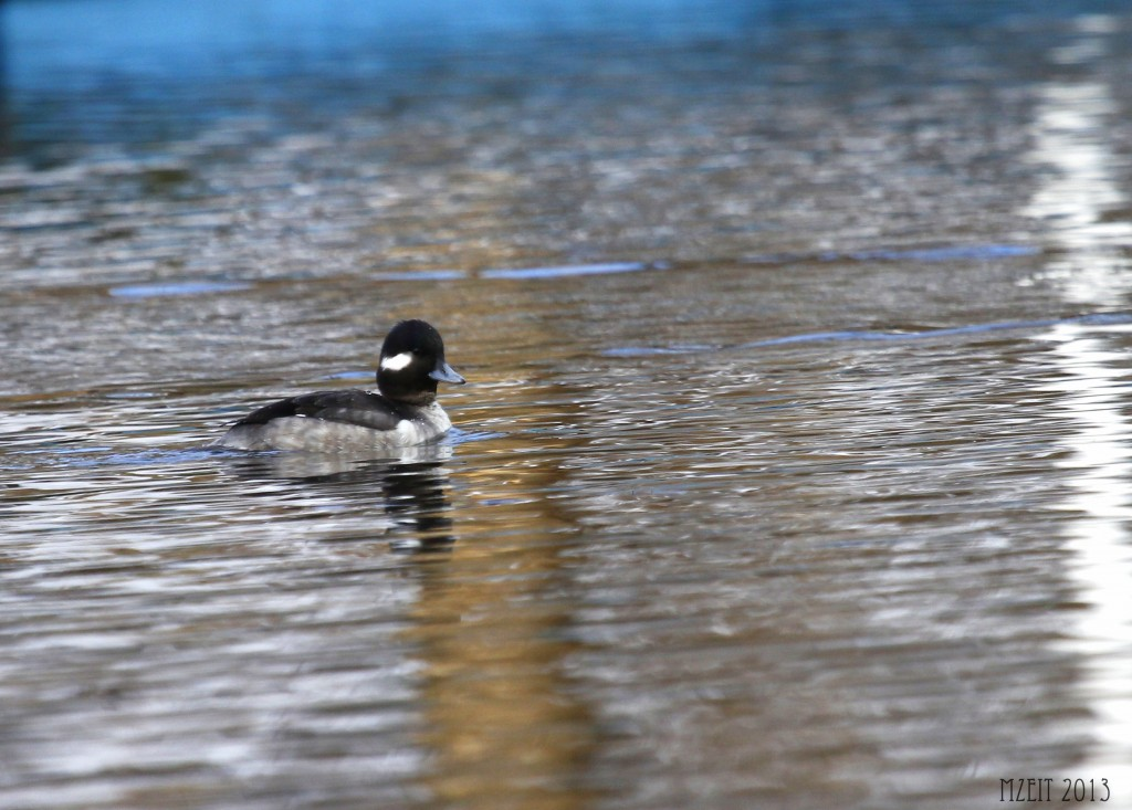 A female Bufflehead makes her way down the canal at Browns Point Park, 1-19-13.