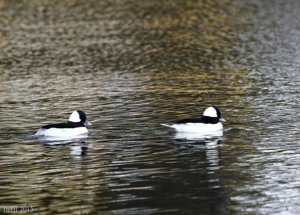 Buffleheads at Browns Point Park.