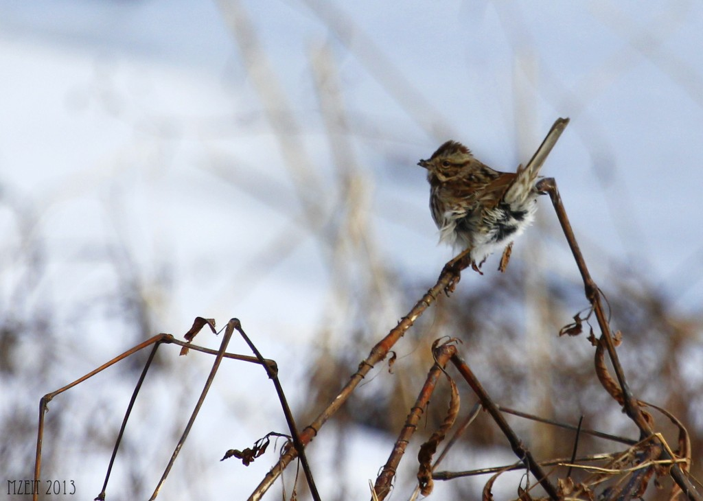 Evidence of the high winds out at Wallkill River Wildlife Refuge, a wind blown song sparrow on the Liberty Loop.
