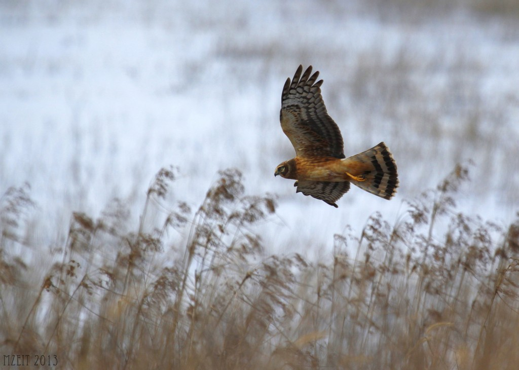 Northern Harrier at Wallkill River Wildlife Refuge 1-19-13.