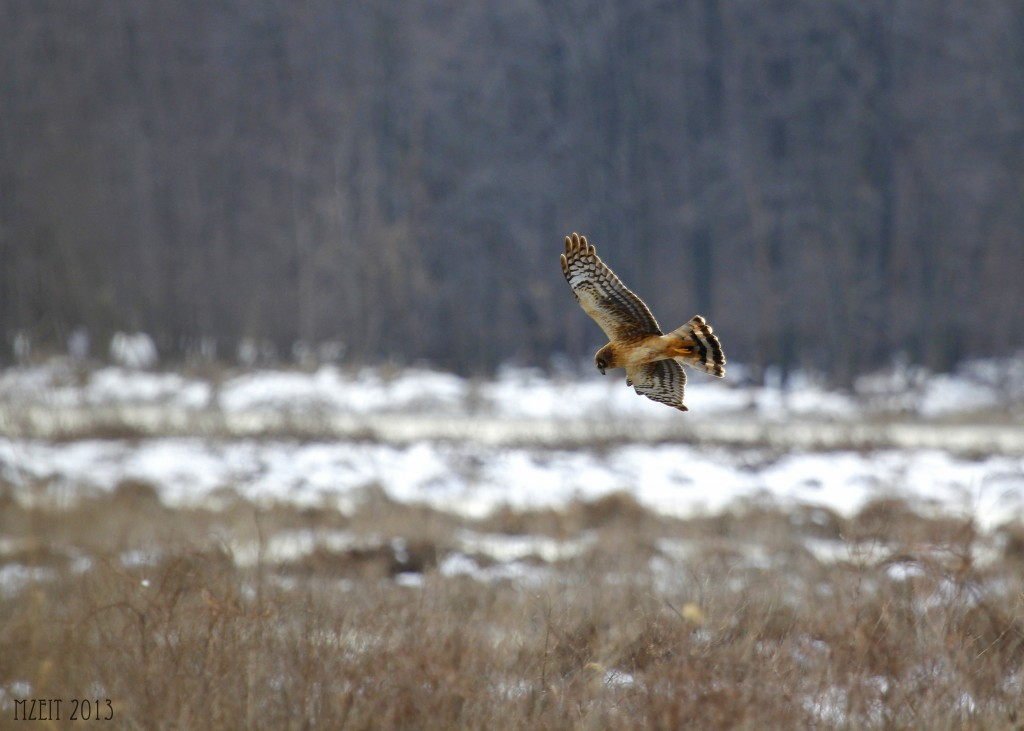 One more Northern Harrier out at Wallkill River Wildlife Refuge, 1-19-13.