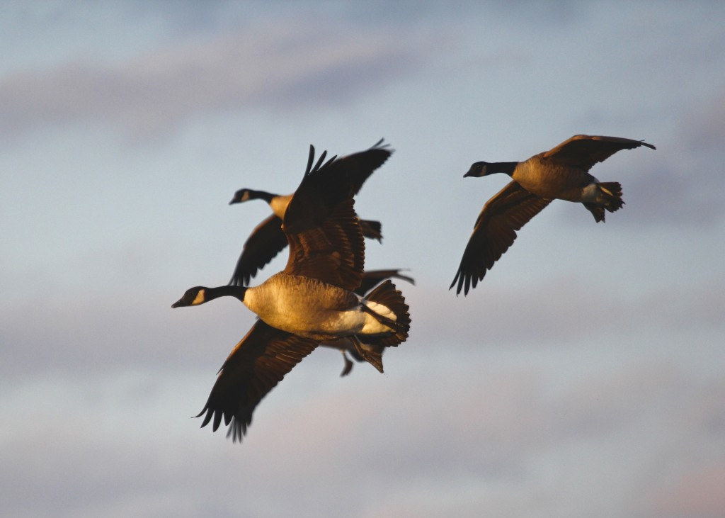 Some more Canada Geese came in for a landing while I was there.