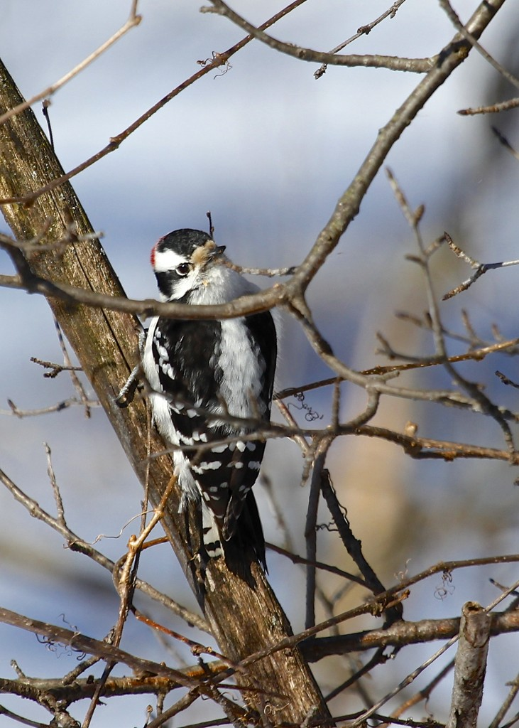 This is one of my best shots of a Downy Woodpecker. For some reason I just haven't gotten a good one yet...