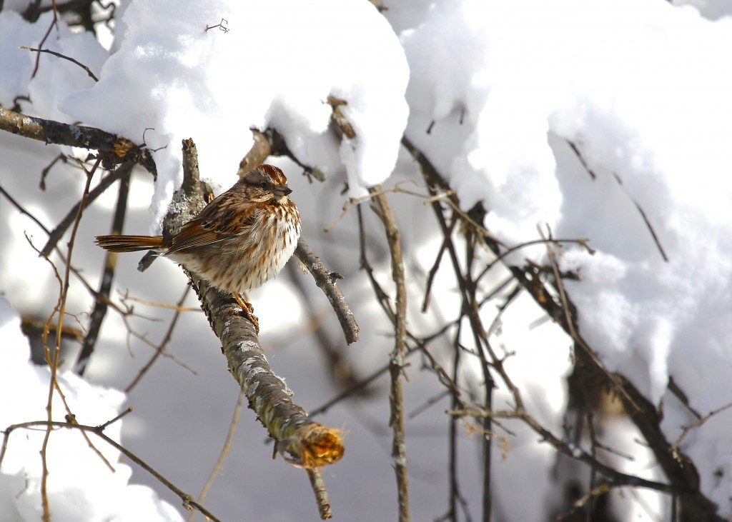 Song Sparrow in the snow on the Heritage Trail near 6 1/2 Station Road Sanctuary, 2-9-13.