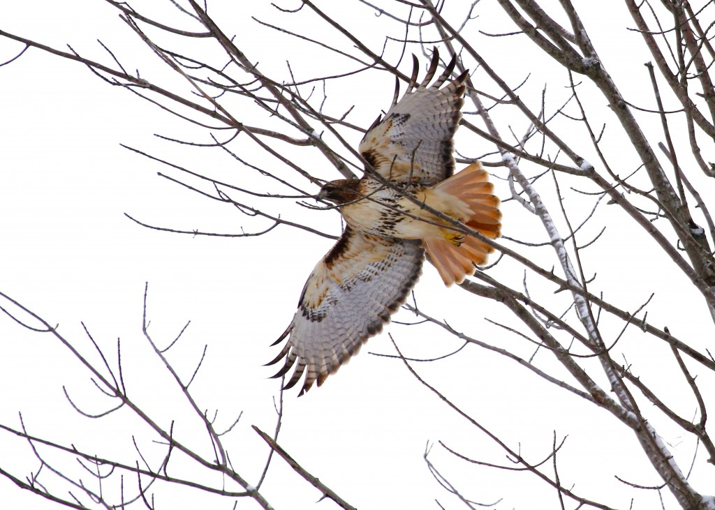 A Red-tailed Hawk leaves its perch