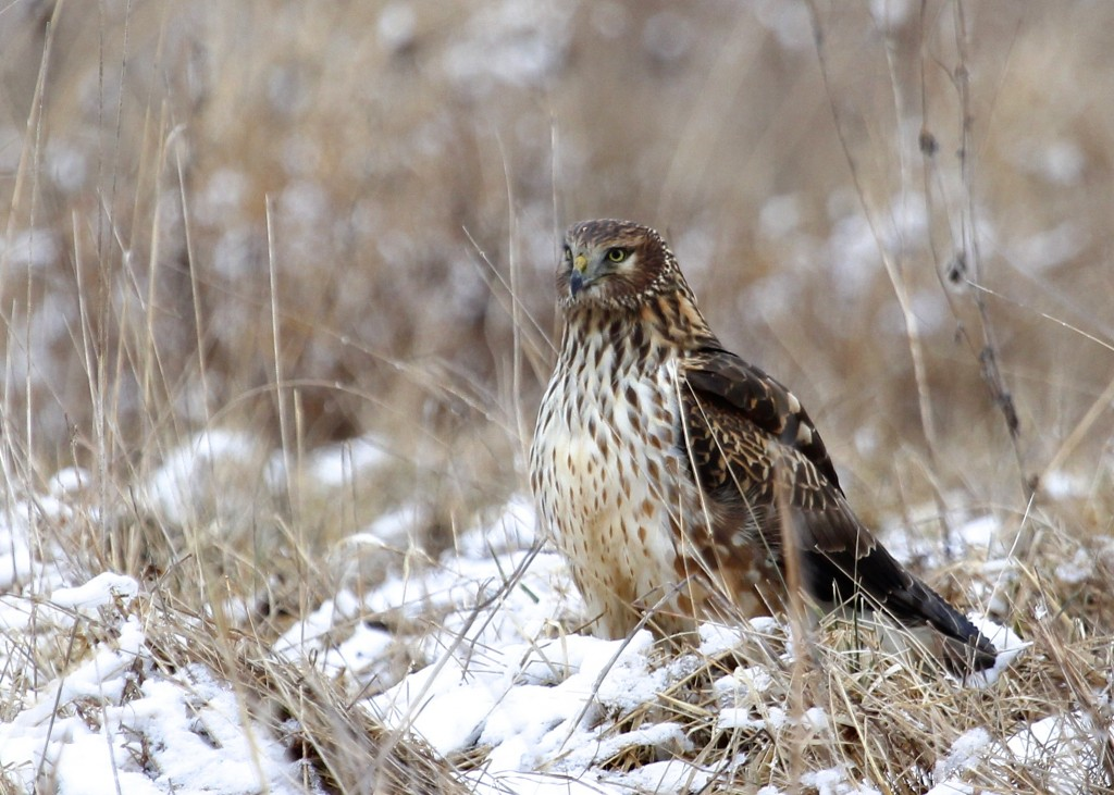 This Northern Harrier spent a lot of time near the blind I was in. I was clicking away and for the longest time the bird did not have any idea I was there.