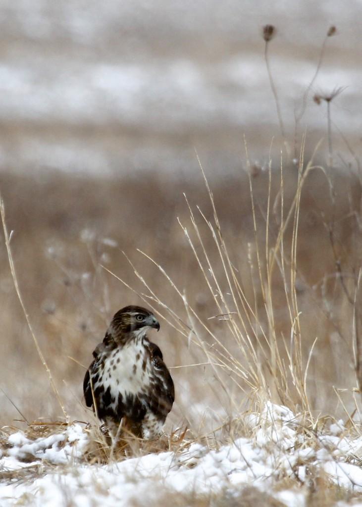 Rough-legged Hawk at Shawangunk Grasslands 2-16-13.
