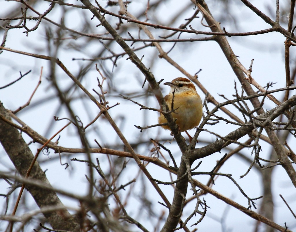 I certainly heard this Carolina Wren before I saw it. 6 12/ Station Road 2-22-13.