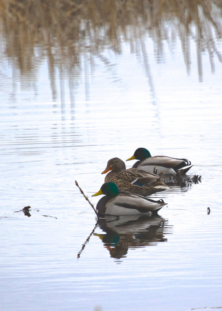 Three of the eleven Mallards out at the sanctuary, 2-22-13.