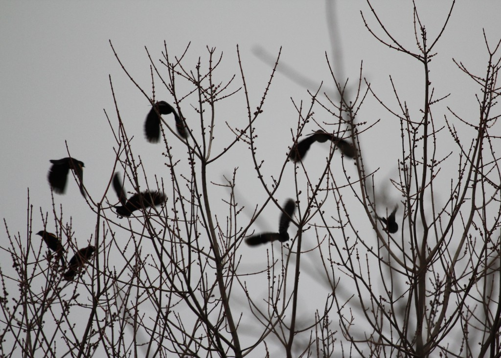 Red-winged Blackbirds take flight. 6 1/2 Station Road Sanctuary 2-22-13.