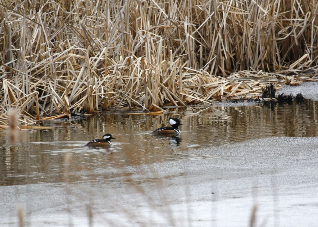 These two were a pleasant surprise. Hooded Mergansers out at 6 1/2 Station Road Sanctuary 2-22-13.