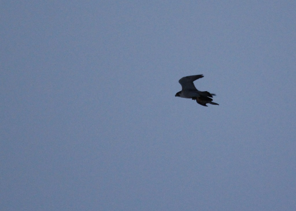 Here's a terrible photo of what was fascinating to watch - a Peregrine Falcon hauls its prey across the sanctuary, 2-22-13.