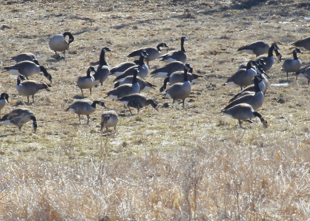 Greater White-fronted Goose at Breeze Hill and Lynch in Orange County NY, 3-3-13