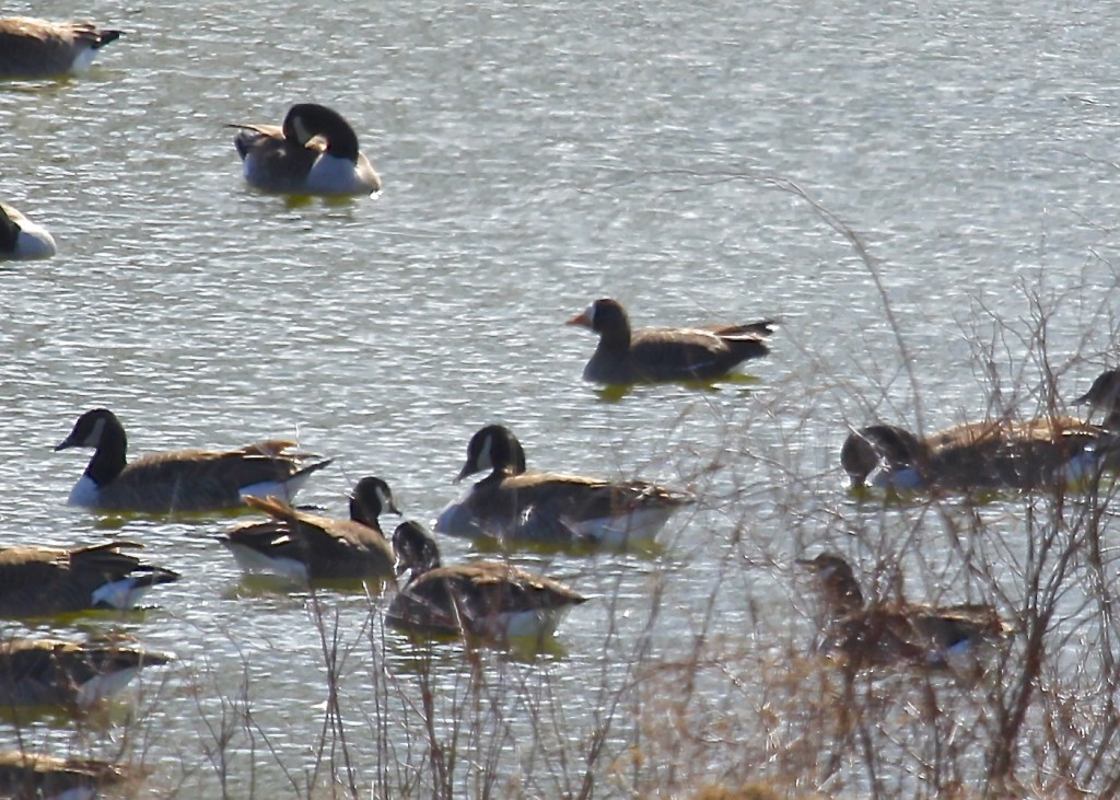 Unfortunately the sun was at the birds back, preventing a decent photo. GWFG in Orange County, 3-3-13.
