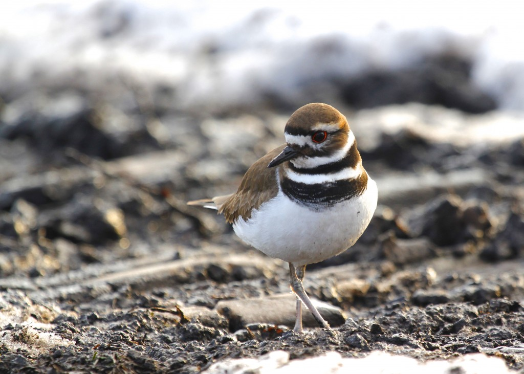 One of several Killdeer I found on Pierce Circle, Orange County NY, 3-8-13.