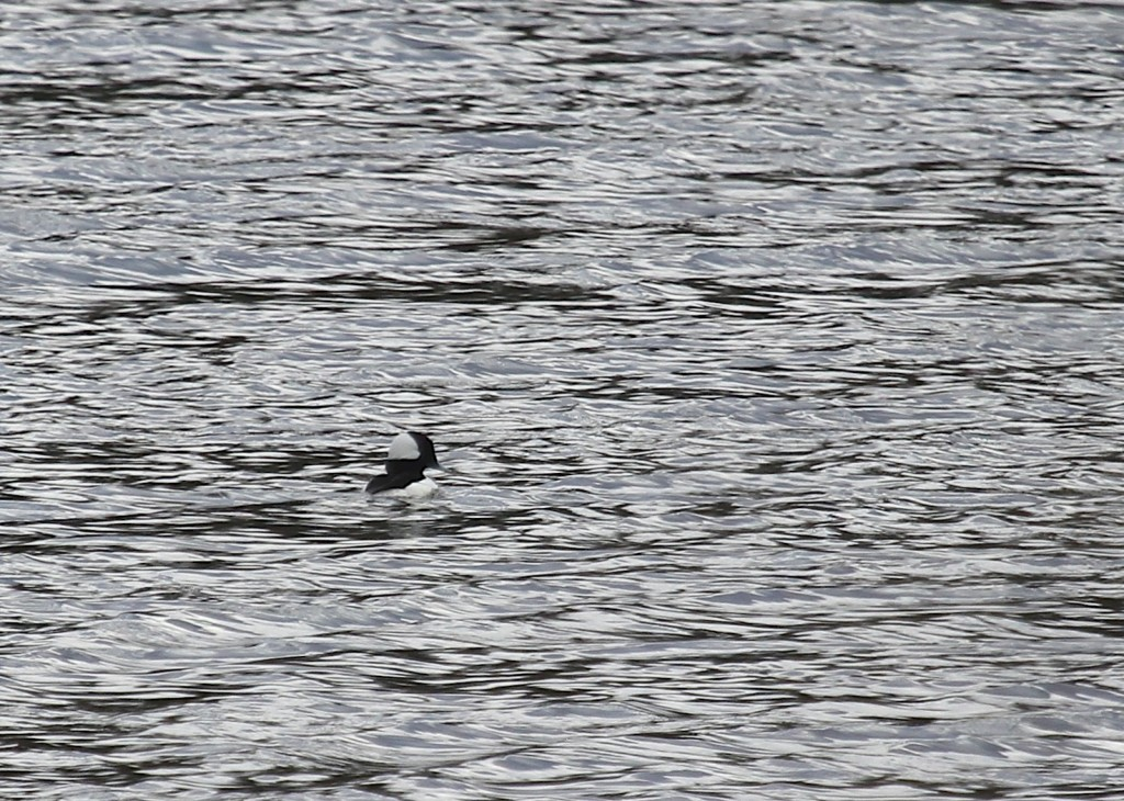 Here's a long distance shot of a Bufflehead, heavily cropped. 6 1/2 Station Rd, 3-13-13.