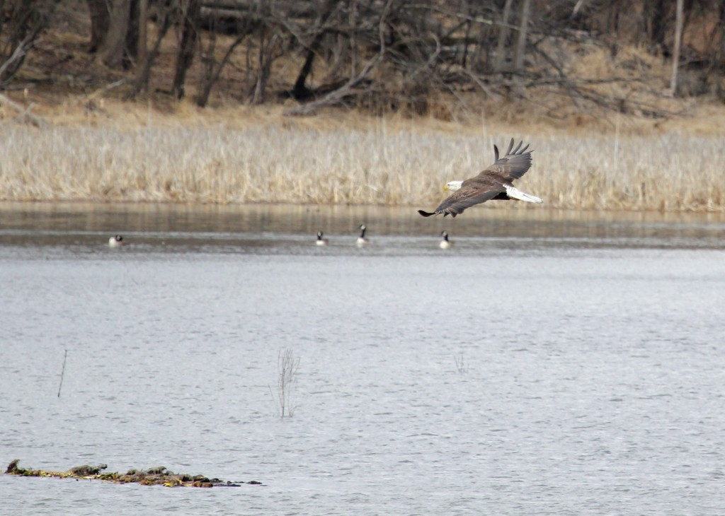 One more look at the Bald Eagle - 6 1/2 Station Road Sanctuary, 3-13-13.