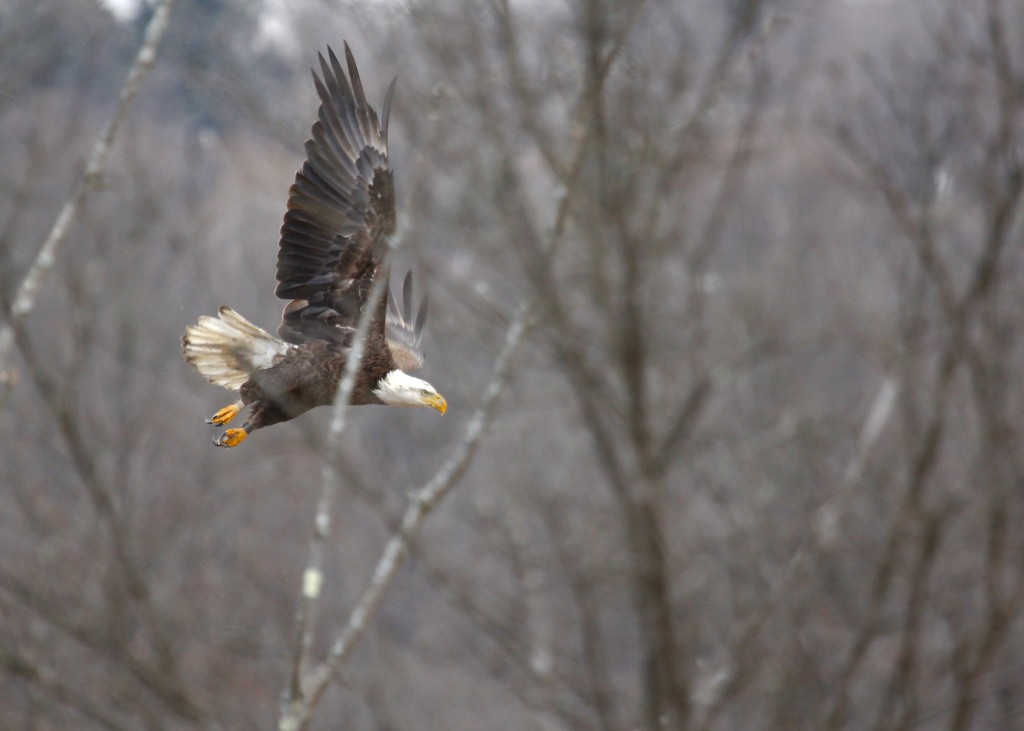 Bald Eagle at 6 1/2 Station Road Sanctuary, 3-13-13.