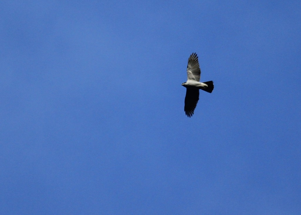A NORTHER GOSHAWK flies over Haven Road at the Basha Kill, 3/23/13.