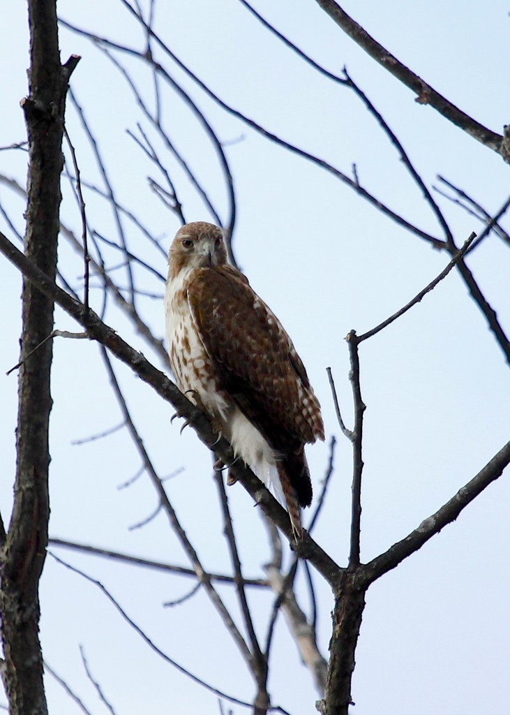 Red-tailed Hawk at 6 1/2 Station Road Sanctuary, 3-28-13.