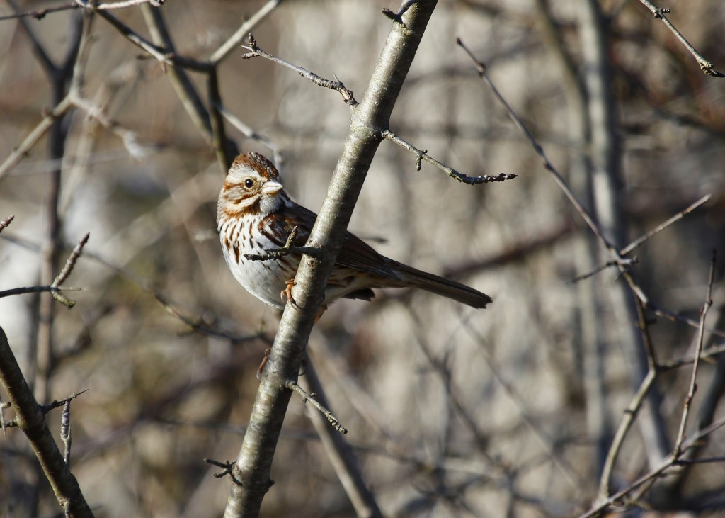 Song Sparrows were plentiful at 6 1/2 Station Road, 4-1-13.