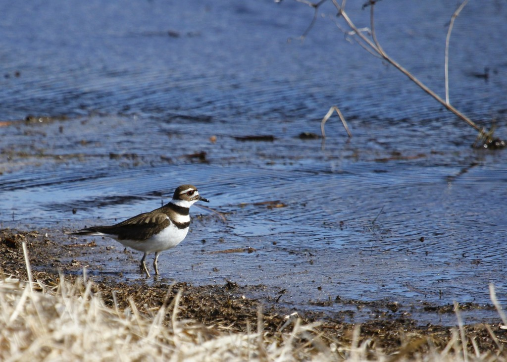 I really enjoy the Killdeer. I've been trying to get a good flight photo of one, but no luck yet. Wallkill River NWR, 4-2-13.