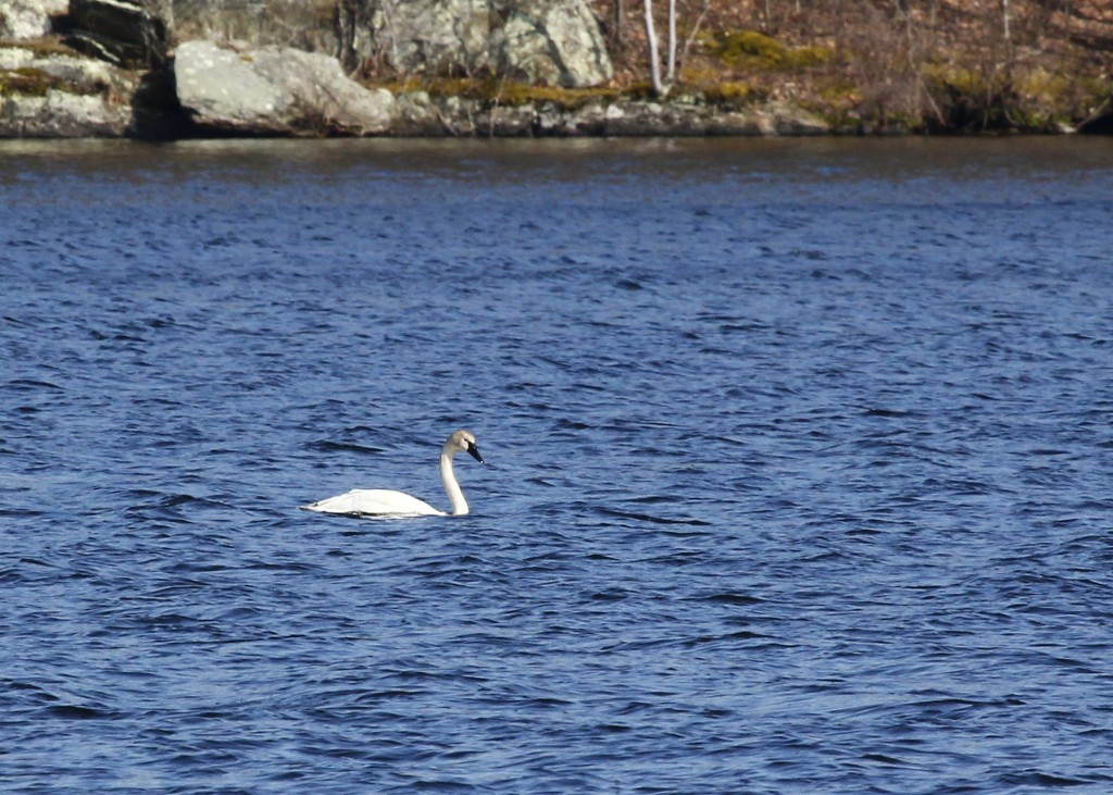 Here is an shot of the Tundra Swan on its own, though it spent most of the time with a group of Mute Swans. Glenmere Lake 4/15/13.