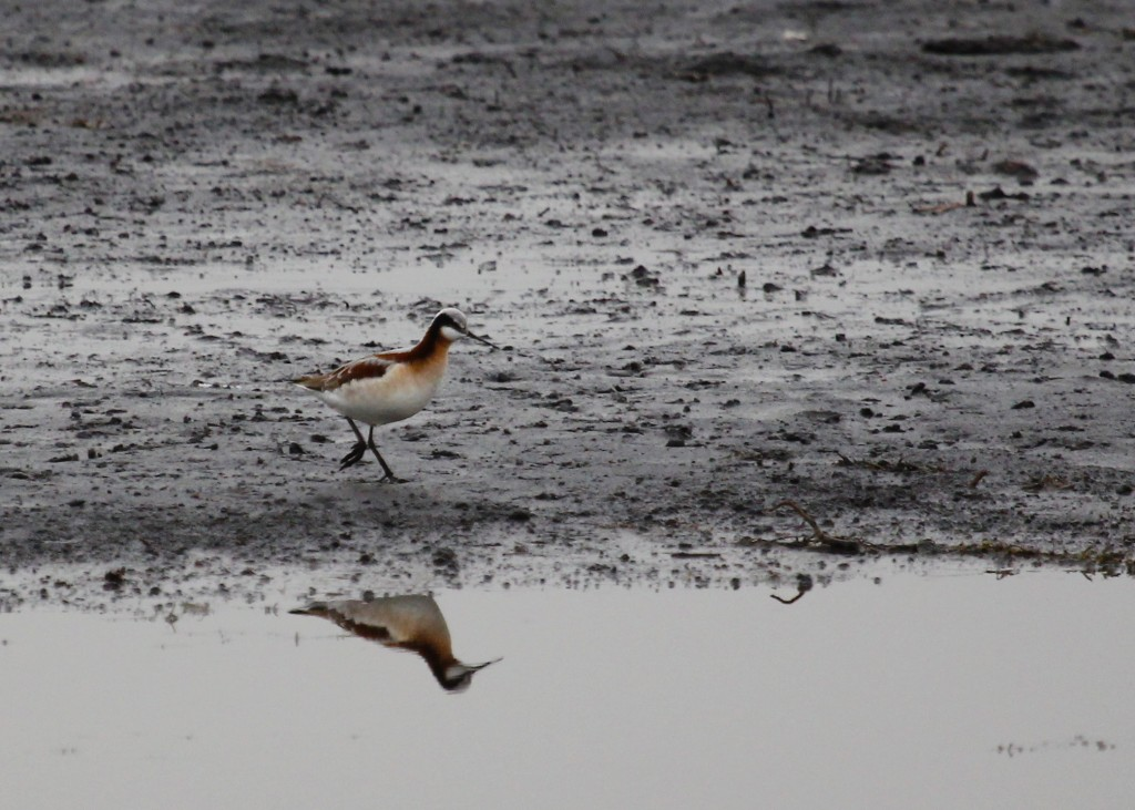 Wilson's Phalarope at Wallkill River NWR 4-18-13.