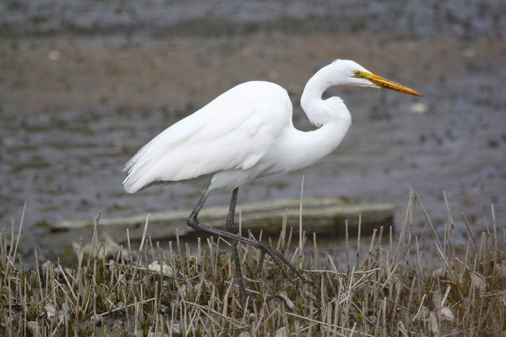 Great Egret at West Neck Beach in Lloyd Harbor NY, 4-19-13.