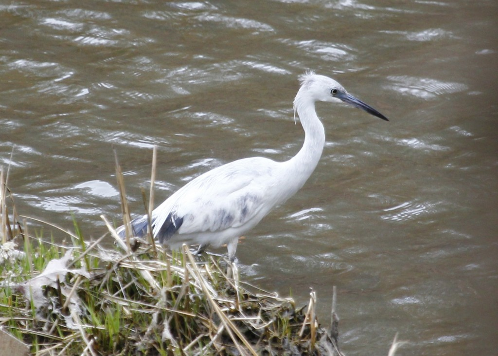 A juvenile Little Blue Heron at Target Rock NWR, 4-19-13.