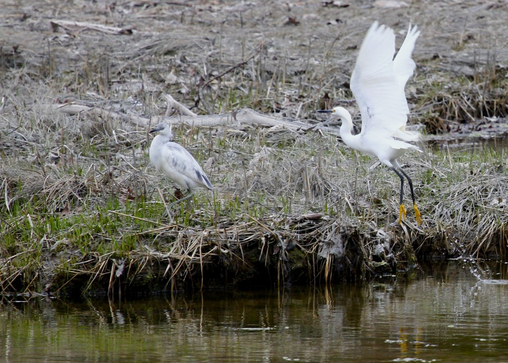 Snowy Egret and Little Blue Heron at Target Rock NWR, 4-19-13.