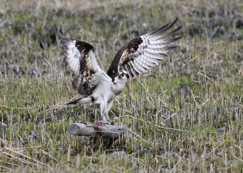 An Osprey stretches its wings. Lloyd Harbor NY, 4-19-13.