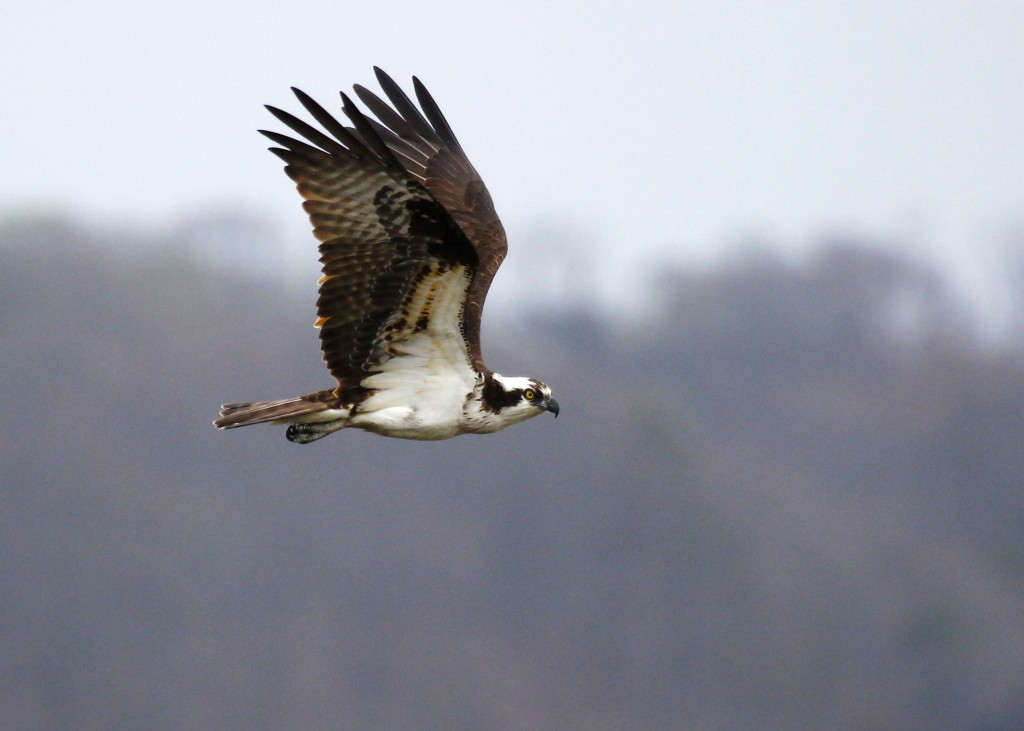 Osprey in flight, Lloyd Harbor NY, 4-19-13.