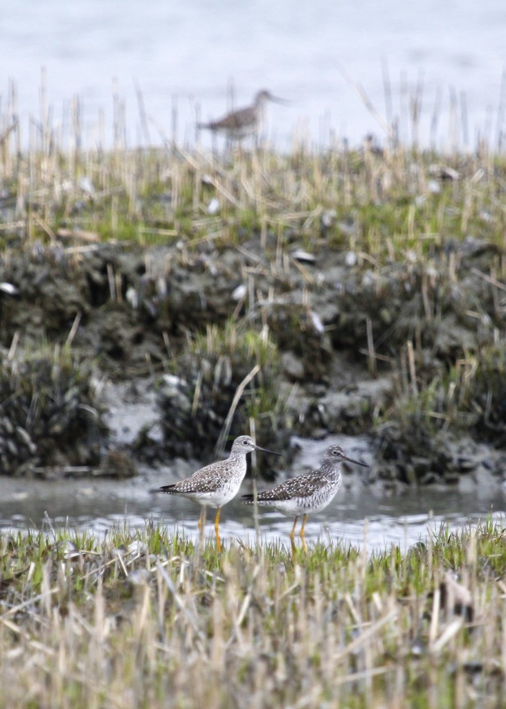 I kind of like this shot of three Greater Yellowlegs, which seemed to be everywhere in Lloyd Harbor.