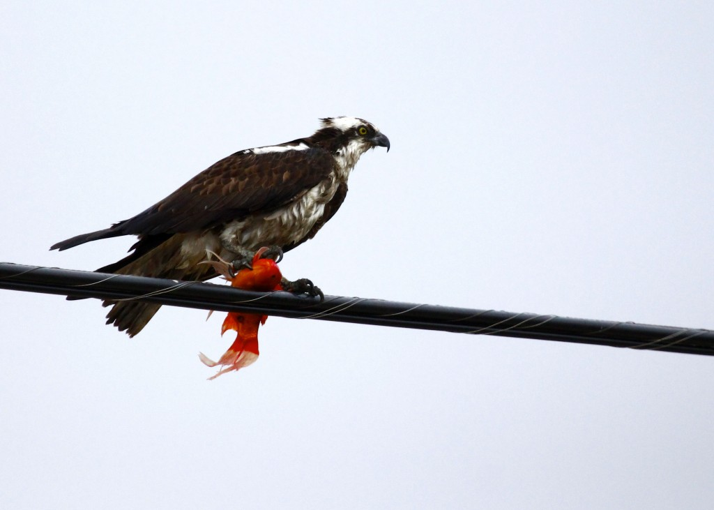 Osprey on a wire with what I am pretty sure is a goldfish! Lloyd Harbor NY, 4-19-13.
