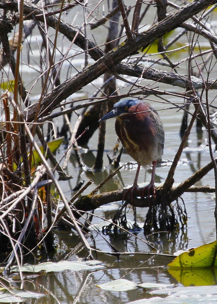 First Green Heron of the season for me, Goshen NY 4/27/13.