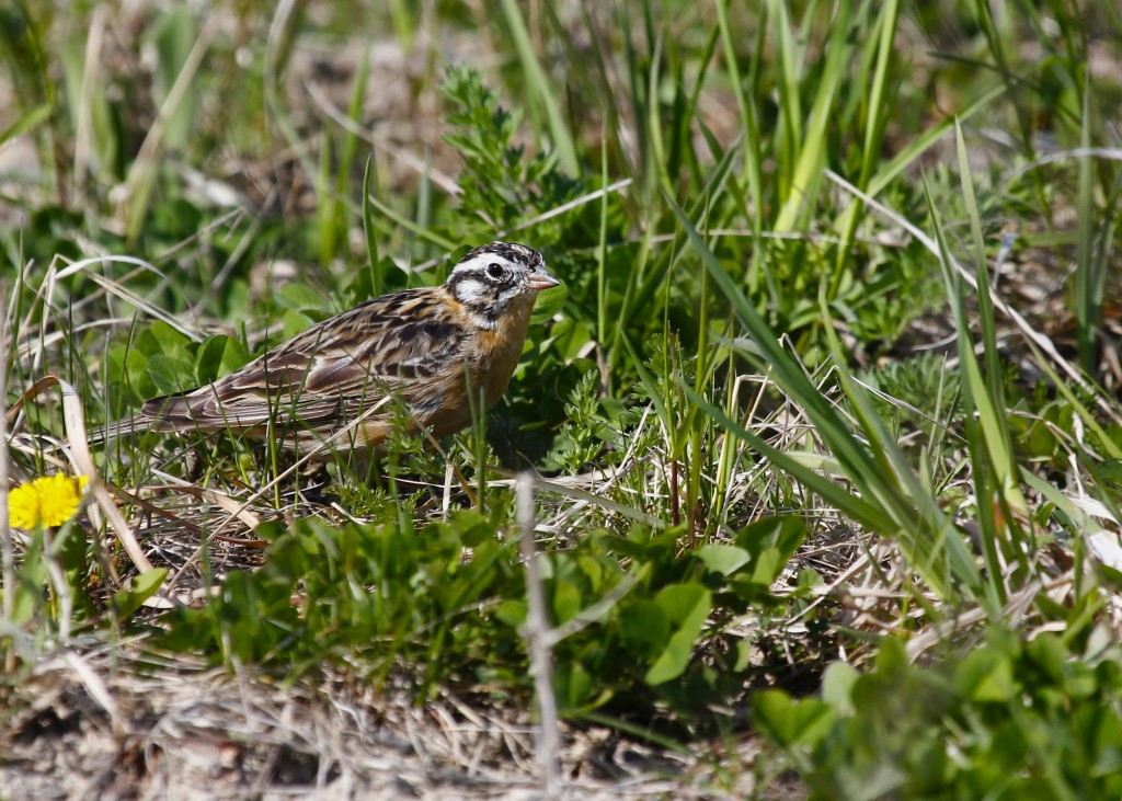 Smith's Longspur at Shawangunk Grasslands, 4/30/13.
