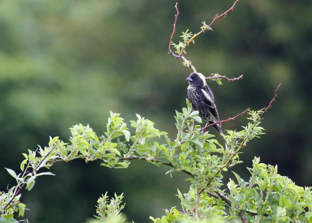 One of two Bobolinks seen at Wallkill River NWR, 5/11/13.